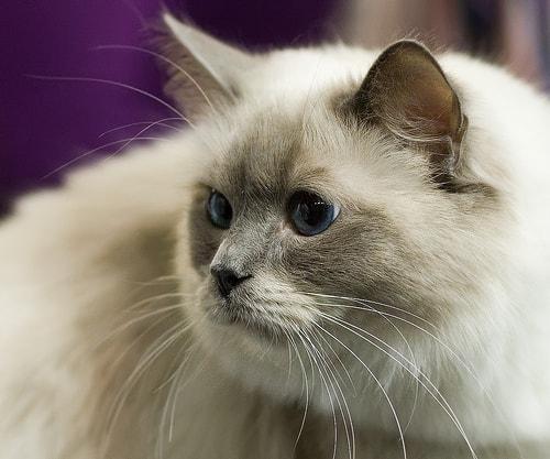 persian cat - Tomi Tapio - flickr