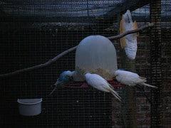 budgerigars feeding