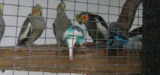 cockatiels and budgerigars sharing an aviary