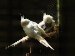 cockatiels roosting