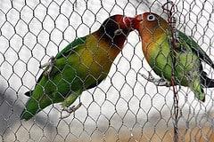 lovebirds hanging on mesh