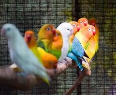 parakeets sharing a branch