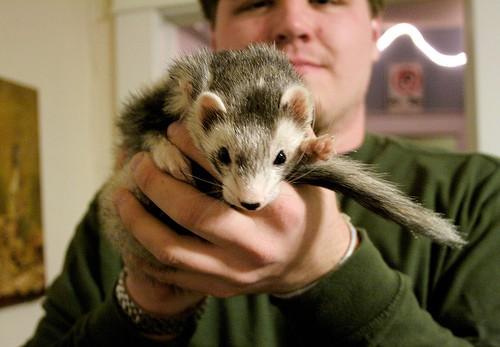 ferret looks Tim Dorr flickr