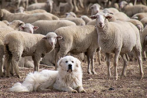 dog and flock - donjd2 - flickr