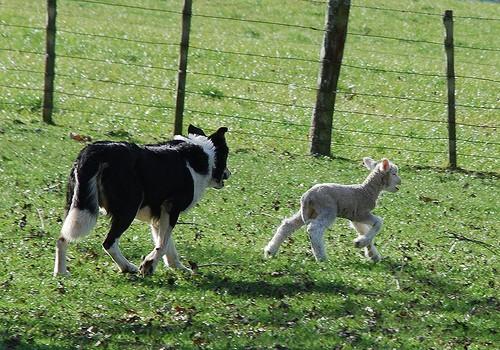 dog and lamb - kiwinz - flickr