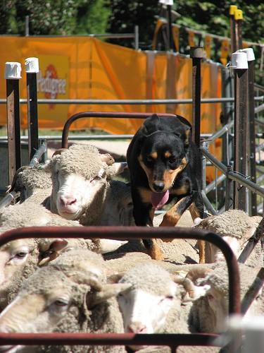 dog and sheep - BotheredByBees - flickr