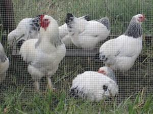 white chickens - wattpublishing - Flickr
