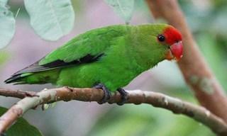 1-Bird-Abyssinian-Lovebird