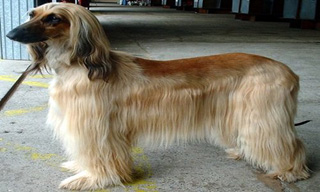 1-Dog-Afghan-Hound_mini