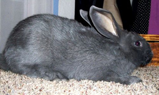 1-Rabbit-American-Rabbit