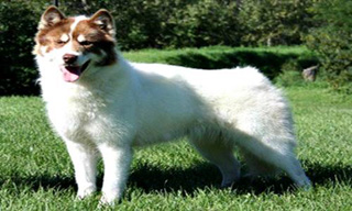 10-Dog-Canadian-Eskimo-Dog_mini