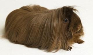 10-Guinea-Pig-Peruvian