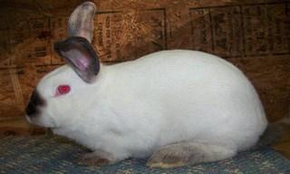 10-Rabbit-Californian