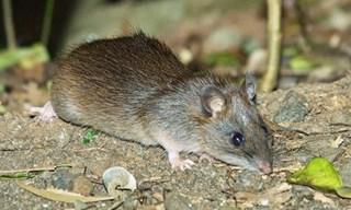 10-Rat-Bush-Rats