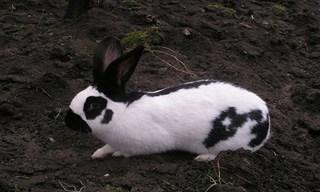 11-Rabbit-Checkered-Giant