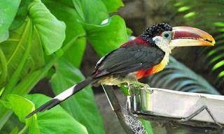 12-Bird-Curl-crested-Aracari