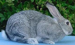 12-Rabbit-Chinchilla