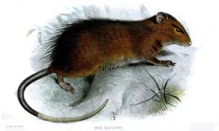 12-Rat-Christmas-Island-Rats