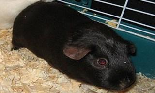 13-Guinea-Pig-Satin
