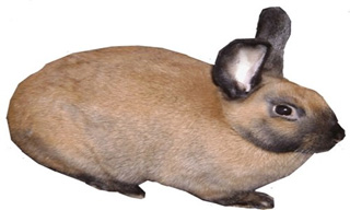 13-Rabbit-Cinnamon