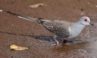 14-Bird-Diamond-Dove