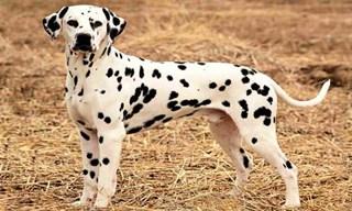 14-Dog-Dalmatian_mini
