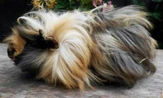 14-Guinea-Pig-Sheba