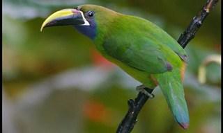 15-Bird-Emerald-Toucanet