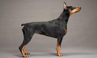 15-Dog-Doberman-Pinscher_mini