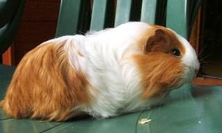 15-Guinea-Pig-Silkie