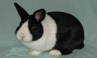 15-Rabbit-Dutch-Rabbit