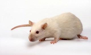 15-Rat-Himalayan-Rats