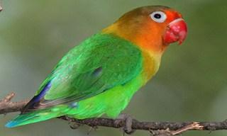 16-Bird-Fischer_s-Lovebird