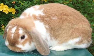 16-Rabbit-Dwarf-Lop