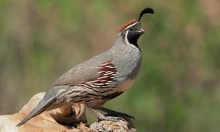 17-Bird-Gambel_s-Quail