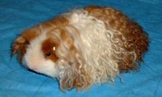 17-Guinea-Pig-Texel