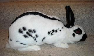 17-Rabbit-English-Spot