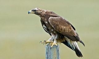 18-Bird-Golden-Eagle