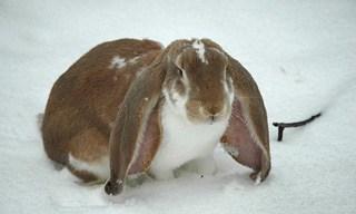 18-Rabbit-English-Lop