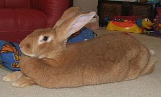 19-Rabbit-Flemish-Giant