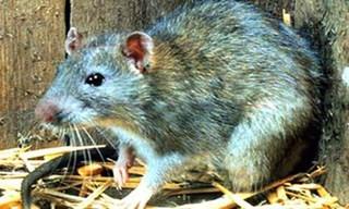 19-Rat-Nillu-Rats