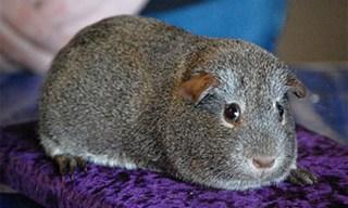 2-Guinea-Pig-Agouti