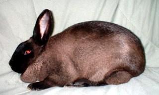 2-Rabbit-American-Sable-Rabbit