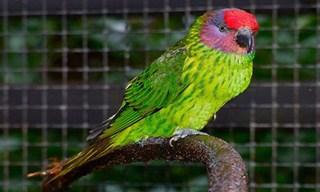 20-Bird-Goldie_s-Lorikeet