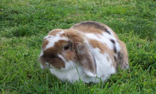 20-Rabbit-French-Lop