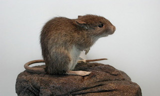 20-Rat-Polynesian-Rats