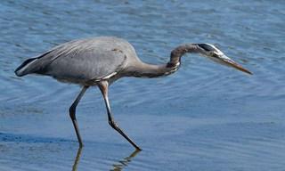 21-Bird-Great-Blue-Heron