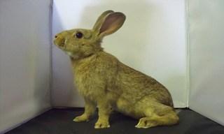 21-Rabbit-Golden-Glavcot