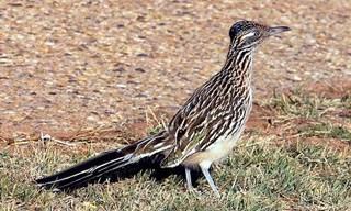 22-Bird-Greater-Roadrunner