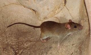 22-Rat-Sikkim-Rats